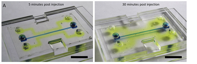 Microfluidic Chips Made of Silk Replicate Human Tissues for Drug